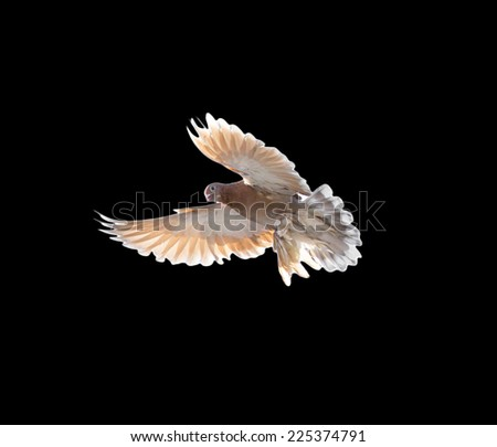 pigeon on a black background