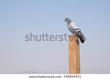 Pigeon on a wood pole with sky background