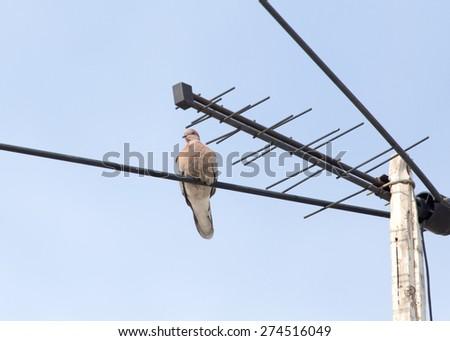pigeon on the antenna - stock photo