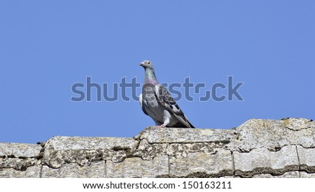 Pigeon on the roof - stock photo