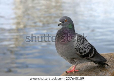 Pigeon sitting at the dock with water in the background in California. Pigeons and doves constitute the bird class Columbidae. They feed on seeds, fruits and plants. - stock photo