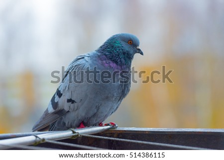 Pigeon sitting on the railing of the balcony