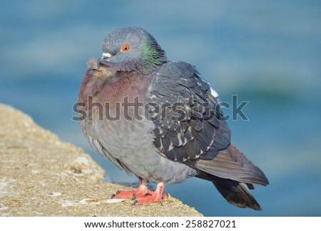 Pigeon standing near blue water - stock photo