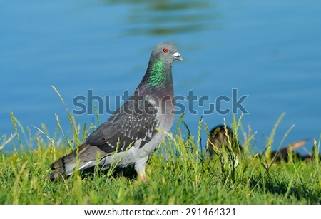 Pigeon standing on green grass - stock photo