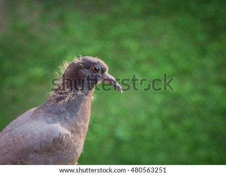 pigeon standing on the ledge, on grass background