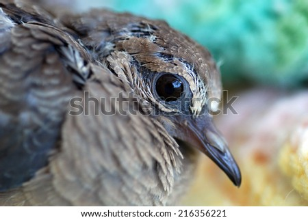 Pigeon  with gray feathers beautiful shiny on the outside. - stock photo