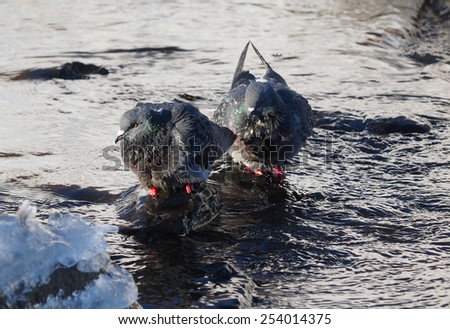 Pigeons bathe in the river in winter