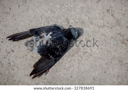 pigeons death on the road - stock photo