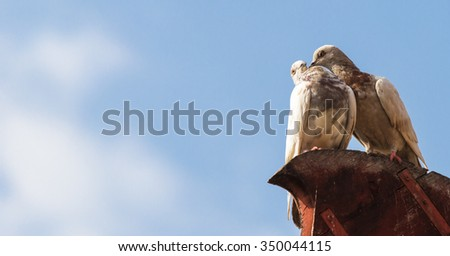 Pigeons in breed action.Rooster pigeon preen the female. - stock photo