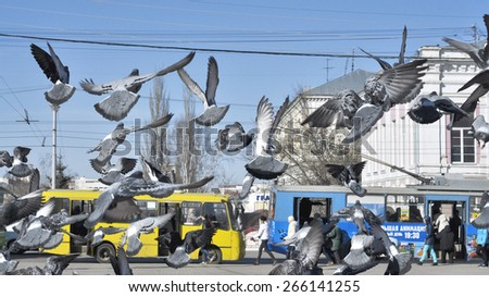 Pigeons in the spring in Vladimir.Public transport, Theatre square, the city of Vladimir, Russia. 28 March 2015. - stock photo