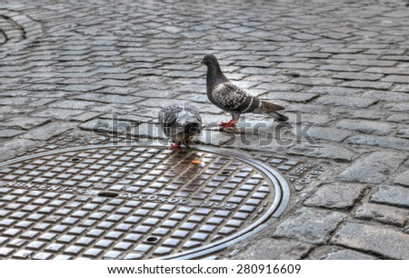Pigeons looking for food on a street close to the grand place in Brussels Belgium - stock photo