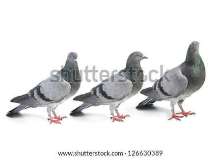 pigeons on a white background - stock photo