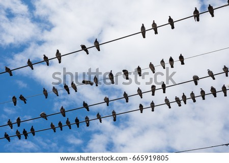 Pigeons on the electric wires