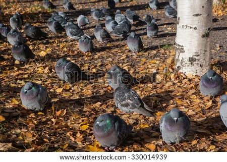 Pigeons on the ground with fallen leaves near the birch. Selective focus
