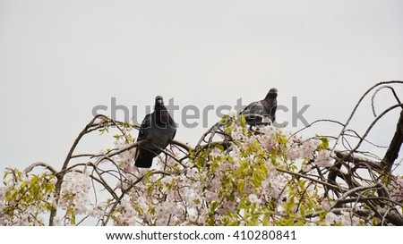 Pigeons perched on a cherry tree. - stock photo