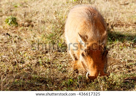 Piggy - Phacochoerus africanus - The common warthog is a wild member of the pig family found in grassland, savanna, and woodland in sub-Saharan Africa. - stock photo
