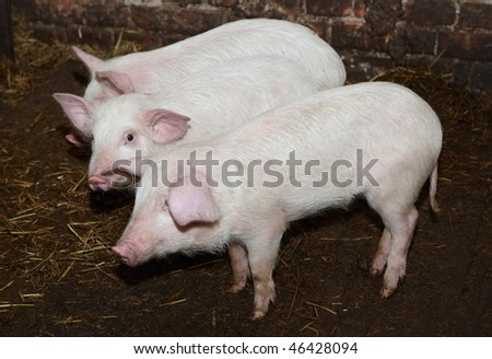 piglet - stock photo