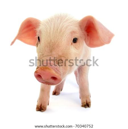 Piglet baby pig - stock photo