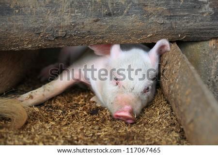 Piglet lies down inside pigpen - stock photo