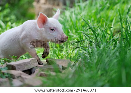 Piglet on spring green grass on a farm - stock photo