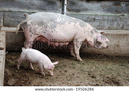 Piglets and mother pig - stock photo