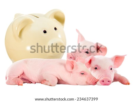 Piglets and piggy bank. Isolated. Investment in pig - stock photo