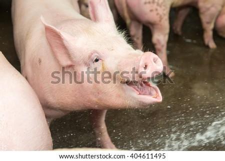 piglets at farm - stock photo