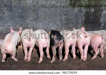 Piglets eating in a trough on a farm - stock photo