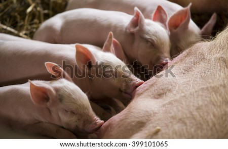 Piglets feeding from mother pig - stock photo