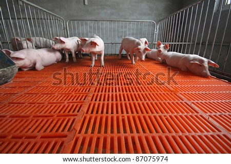 piglets in the enclosure in a farm - stock photo
