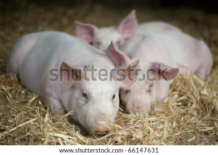 Piglets laying in straw - stock photo