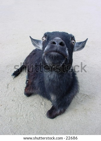 Pigmy goat resting at the San Francisco zoo. - stock photo