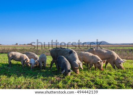 Pigs and piglets grazing in a field pasturage under blue sky. Natural organic agriculture. Farming.