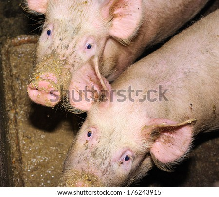 Pigs eating from a trough.