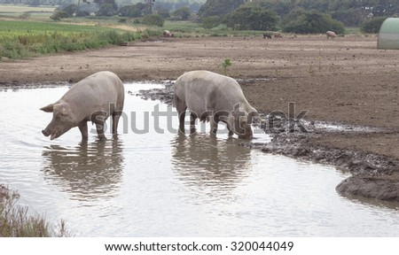 Pigs in a Puddle - stock photo