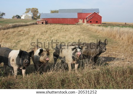 pigs in front of a red barn - stock photo