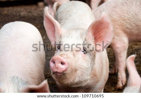 Pigs in pig sty - stock photo