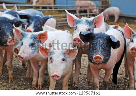 pigs in pig sty on organic farm - stock photo