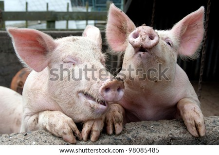 Pigs joking and laughing - stock photo