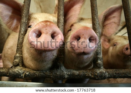 pigs noses - stock photo