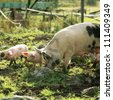 Pigs on a farm - stock photo