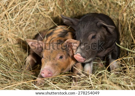 Pigs on a farm resting on a bale of straw - stock photo
