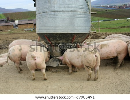 Pigs on the farm are feeding from food silo - stock photo