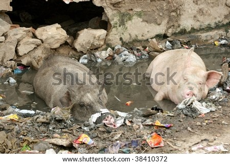 Pigs on the street in India - stock photo
