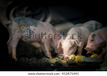 Pigs (piggies) taking foods in farm