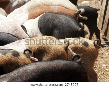 Pigs showing the tails - stock photo