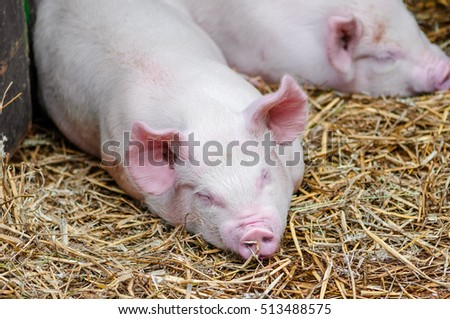 Pigs swine sleeping resting on the straw in a farm stall