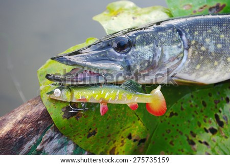 Pike and fishing lure - stock photo