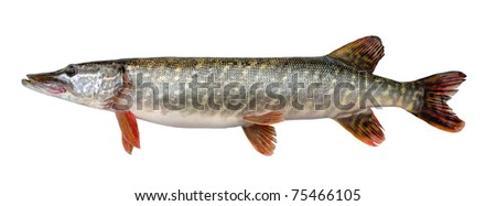 Pike fish stock photos images pictures shutterstock for Predatory freshwater fish