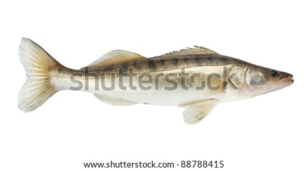 Pike fish. Isolated on white background - stock photo